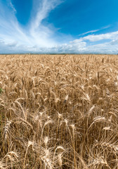 Wheat field on summer
