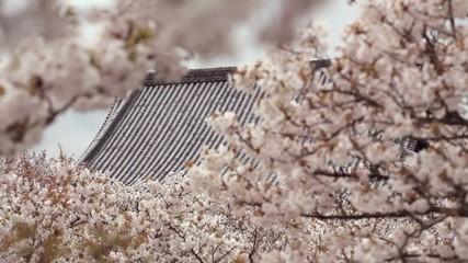 瓦屋根と桜2