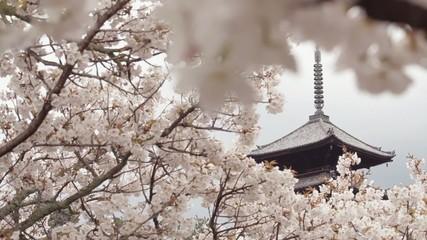 五重塔と桜2