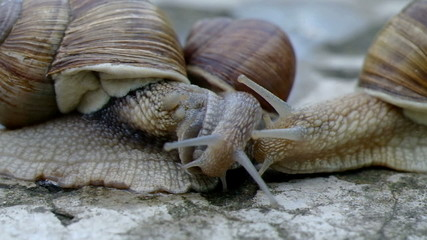 Three snails communicate.
