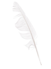 Bedraggled white feather studio isolated over white - cowardice