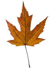 Beautiful autumn leaf macro, studio isolated over whie backgroun