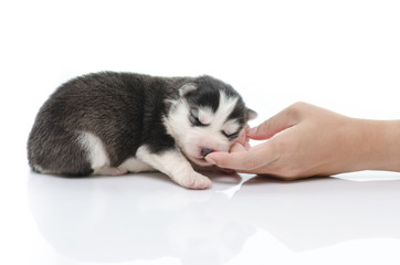 Cute puppy with caressing hand on white