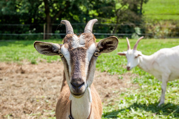 head of goats