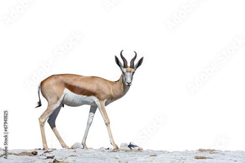 Staande foto Antilope Springbok