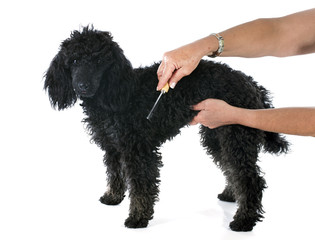 puppy poodle and brush