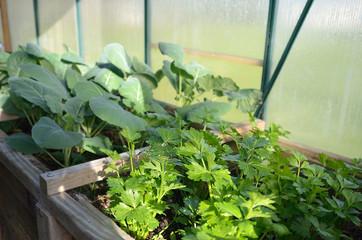 Coriander plants