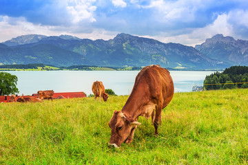Cows on the meadow at Bavarian Alps, Germany