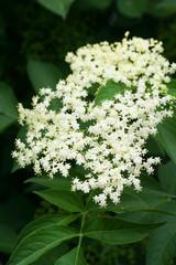 fiori di sambuco_ albero