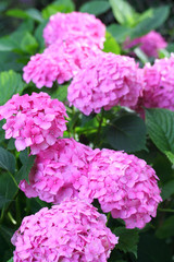 ortensie rosa_ fiori