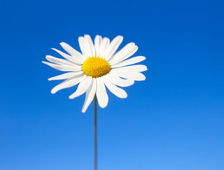 daisy on a background of blue sky