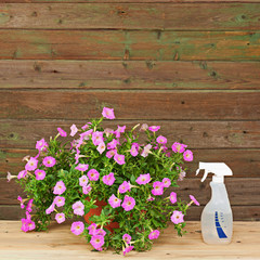 Pink petunia flowers in flowerpot on wooden background.