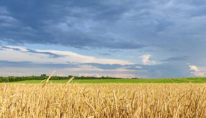 Golden wheat field with dark blue colorful sky