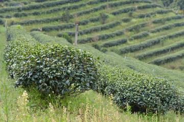 Plantación de té en Mae Salong, Tailandia