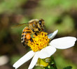Obrazy na płótnie, fototapety, zdjęcia, fotoobrazy drukowane : Bees to a flower.