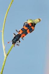 Escarabajo rojinegro, Sauceda, Hurdes, España