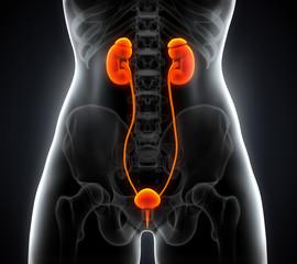 Human Female Kidney Anatomy
