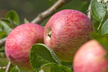 Natural fresh apple growing on the tree closeup