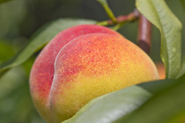 Ripe peach on the tree closeup