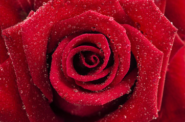 Romantic close up of Rain falling on Red Rose