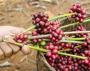 coffee berries on agriculturist hands