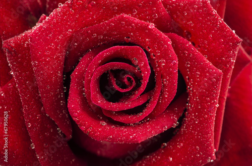 canvas print picture Romantic close up of Rain falling on Red Rose