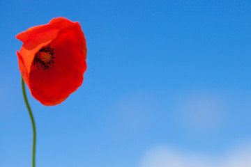 Big flower of wild red poppy on blue sky background
