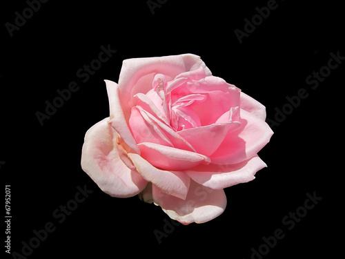 canvas print picture Розовая роза