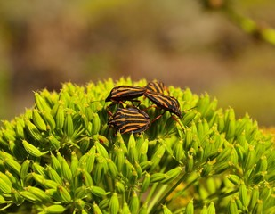 Beetles on fennel plant