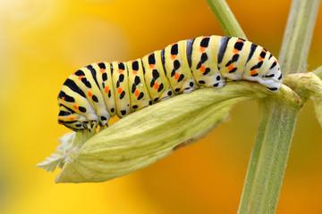 Macro of caterpillar of swallowtail (Papilio machaon)