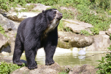 Andean bear (Tremarctos ornatus)