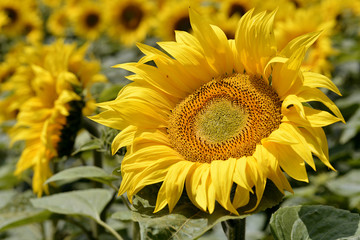 Closeup sunflower (Helianthus annuus)