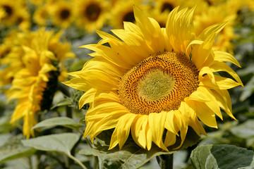 Closeup sunflower (Helianthus annuus)