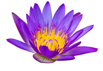 Purple lotus flower with yellow pollen on white background