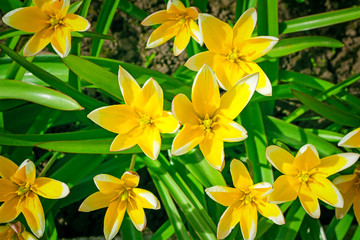 Narcissuses blossoming in a garden among a green grass.