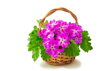 Basket with blossoming violets on a white background.
