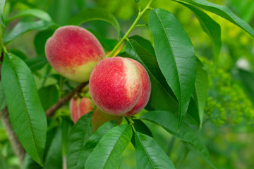 Ripe peach with green leaf