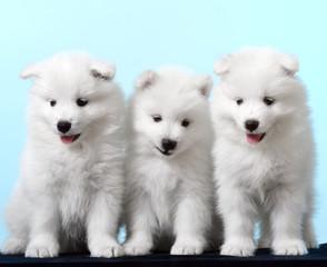 Dog. Breed - Samoyeds