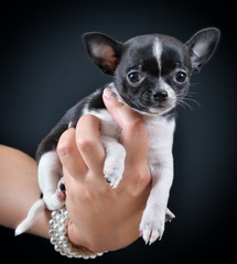 Dog. Breed - Chihuahua