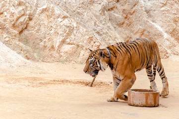 Beautiful bengal tiger at the Tiger Temple in Thailand