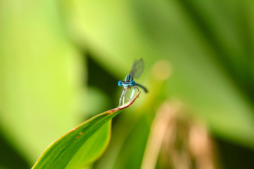 little blue dragon-fly and pale green grass background