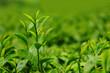 Fresh tea leaves in plantation