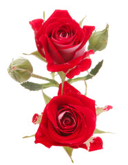 Red rose flower bouquet isolated on white background cutout