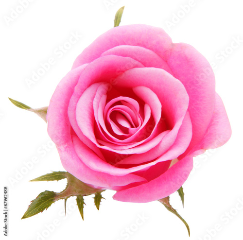 Pink rose flower head isolated on white background cutout - 67962489