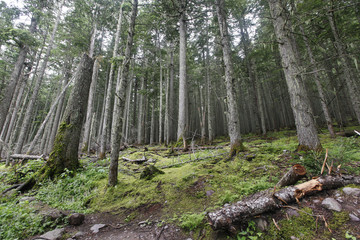 A coniferous forest in Glacier National Park, Montana.