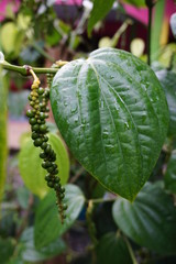 White pepper seed and leaf