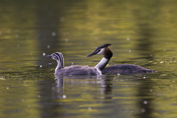 Great crested grebe and juvenile