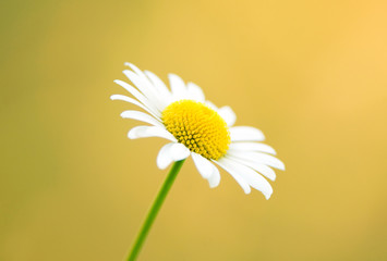 Nature backgrounds - daisy on a yellow background