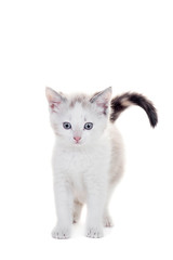 Small kitten on white