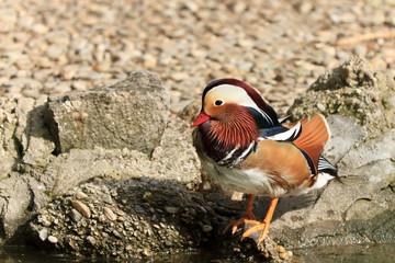 Mandarin Duck Drake (Aix Galericulata)